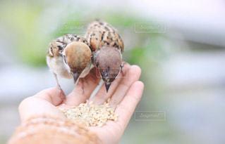手のひらの上に乗る鳥の写真・画像素材[2798398]