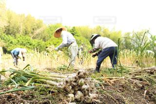 ニンニクを収穫する人の写真・画像素材[2811815]