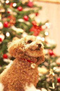 クリスマスツリーと犬の写真・画像素材[2824608]