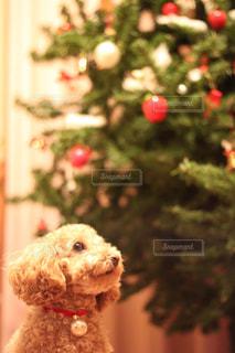 クリスマスツリーの隣に座っている犬の写真・画像素材[2824625]