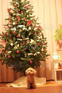 部屋のクリスマスツリーと犬の写真・画像素材[2824634]