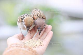 手のひらでご飯をたべる鳥の写真・画像素材[2887070]