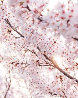 桜と木漏れ日の写真・画像素材[3033514]