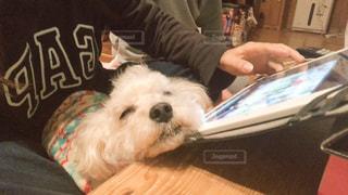 寝る犬の写真・画像素材[3101540]