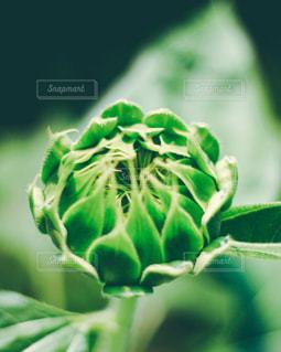 向日葵の蕾の写真・画像素材[3139986]
