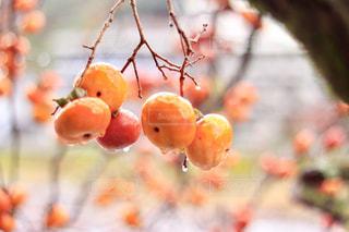 みずみずしい柿の写真・画像素材[3148892]