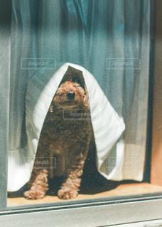 カーテンと犬の写真・画像素材[3314446]