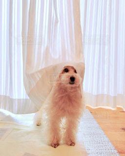 カーテンと犬の写真・画像素材[3314444]