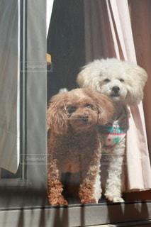 網戸越しに外を見る犬の写真・画像素材[3360784]