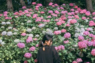 ピンクの紫陽花の前に立っている女性の写真・画像素材[3377358]
