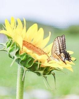 ひまわりとアゲハ蝶の写真・画像素材[3495628]