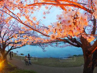 桜,夜,屋外,湖,水面,夜桜,樹木