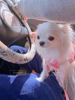 犬,春,チワワ,車,茶色,ベージュ,ドライブ,ドライブデート,ミルクティー色