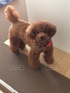 犬,かわいい,茶色,ペット,ぬいぐるみ,プードル,トイプードル,しっぽ,ベージュ,愛犬,テディベア,モコモコ,インスタ映え,ミルクティー色