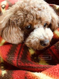 犬,赤,かわいい,茶色,ペット,ぬいぐるみ,プードル,トイプードル,ベージュ,愛犬,テディベア,ブランケット,インスタ映え,ミルクティー色