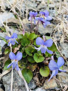 青紫色の花の写真・画像素材[2047975]
