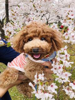 平成最後の桜と愛犬の写真・画像素材[2063936]