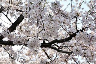 満開の桜の写真・画像素材[1985649]