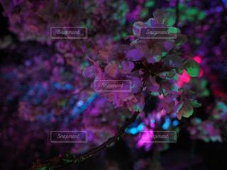 ネオンザクラの写真・画像素材[2030296]