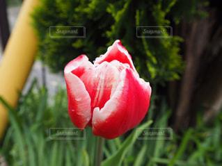 自然,花,雨,屋外,赤,水滴,チューリップ,雫,草木,日中,潤い