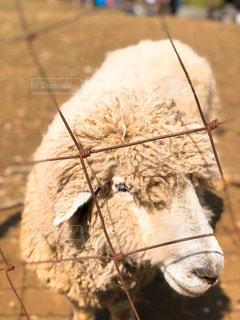 自然,秋,冬,動物,屋外,茶色,羊,可愛い,ベージュ,アニマル,モコモコ,もこもこ,ミルクティー色