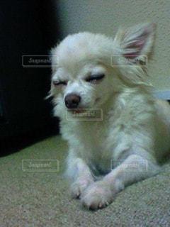 犬,チワワ,白,手,居眠り,うとうと,コックリ