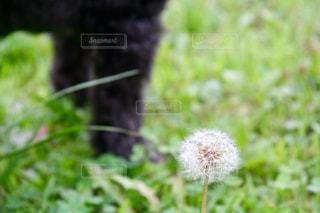 フワフワタンポポのクローズアップの写真・画像素材[2290091]