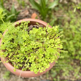 鉢の中のグリーンの写真・画像素材[4385697]