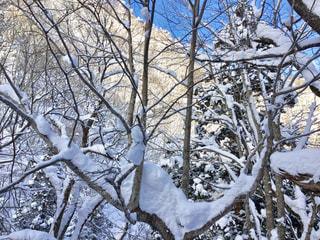 雪に覆われた木の写真・画像素材[2821260]