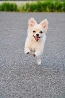 小さな白い犬の写真・画像素材[2702622]