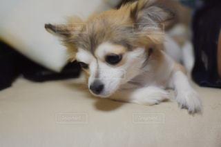 地面に横たわる茶色と白い犬の写真・画像素材[2281546]