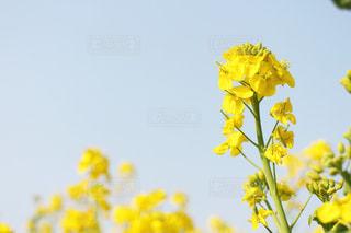 菜の花の写真・画像素材[1969998]