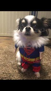 犬,動物,チワワ,かわいい,スーパーマン,ワンチャン