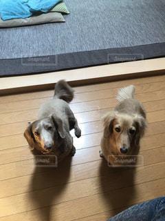 犬,ペット,ミルクティー色