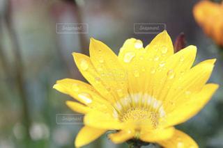 汗かいてる花の写真・画像素材[1962856]