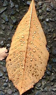 水滴,葉,ベージュ