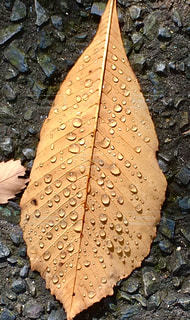 秋,枯れ葉,水滴,葉,雨上がり,ベージュ