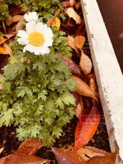 花,秋,落ち葉,ミルクティー