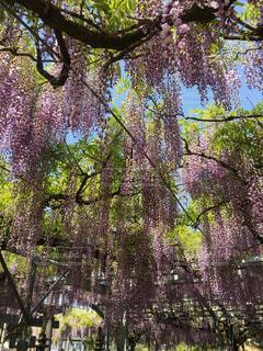 藤の花の写真・画像素材[2022776]