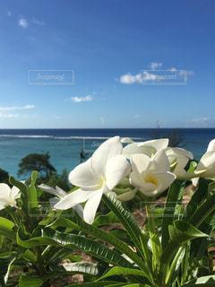 南国の海風を浴びるプルメリアの写真・画像素材[2330604]