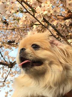 犬,花,春,桜,動物,ペキニーズ,木,かわいい,花見,お花見,イベント,仔犬