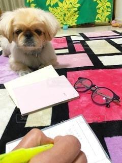 テーブルの上に座っている小さな犬の写真・画像素材[4006674]