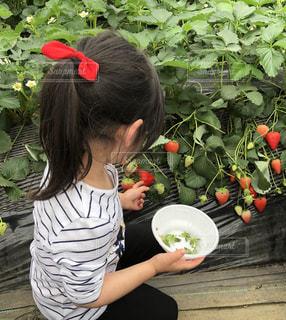 花,赤,後ろ姿,女の子,いちご,苺,楽しい,フルーツ,果物,リボン,ハウス,美味しい,新鮮,食べ放題,苺狩り,後向き