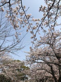 桜の空の写真・画像素材[1978543]