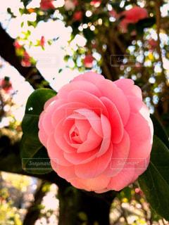 ピンク色の椿の花の写真・画像素材[1974282]
