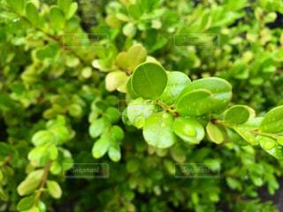 葉っぱの上の雫の写真・画像素材[2121210]