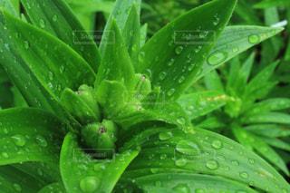 緑,水,葉っぱ,水滴,新緑,雨の日