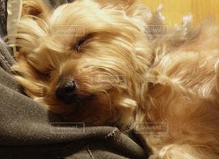 犬,動物,かわいい,ペット,寝顔,ヨークシャテリア,甘え