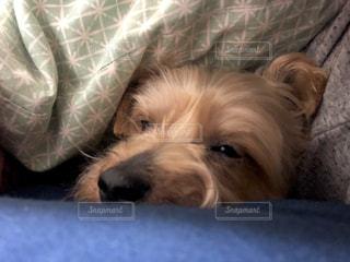犬,動物,かわいい,ペット,寝顔,寝る,ヨークシャテリア,テリア,甘え