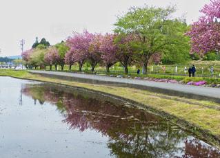 田に映る八重桜の写真・画像素材[2077557]